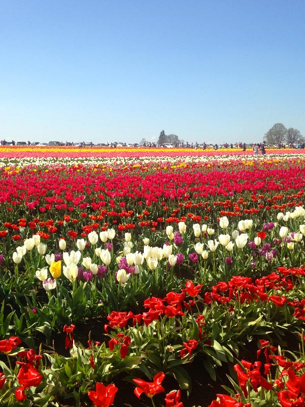Planning a Summer trip to Portland? Don't miss the Wooden Shoe Tulip Farm near Portland Oregon. It's a prime spot for photography and taking family pictures. Looking for more to do in Portland, OR? Ultimate Visitor Guide for Portland is available from sipbitego.com.